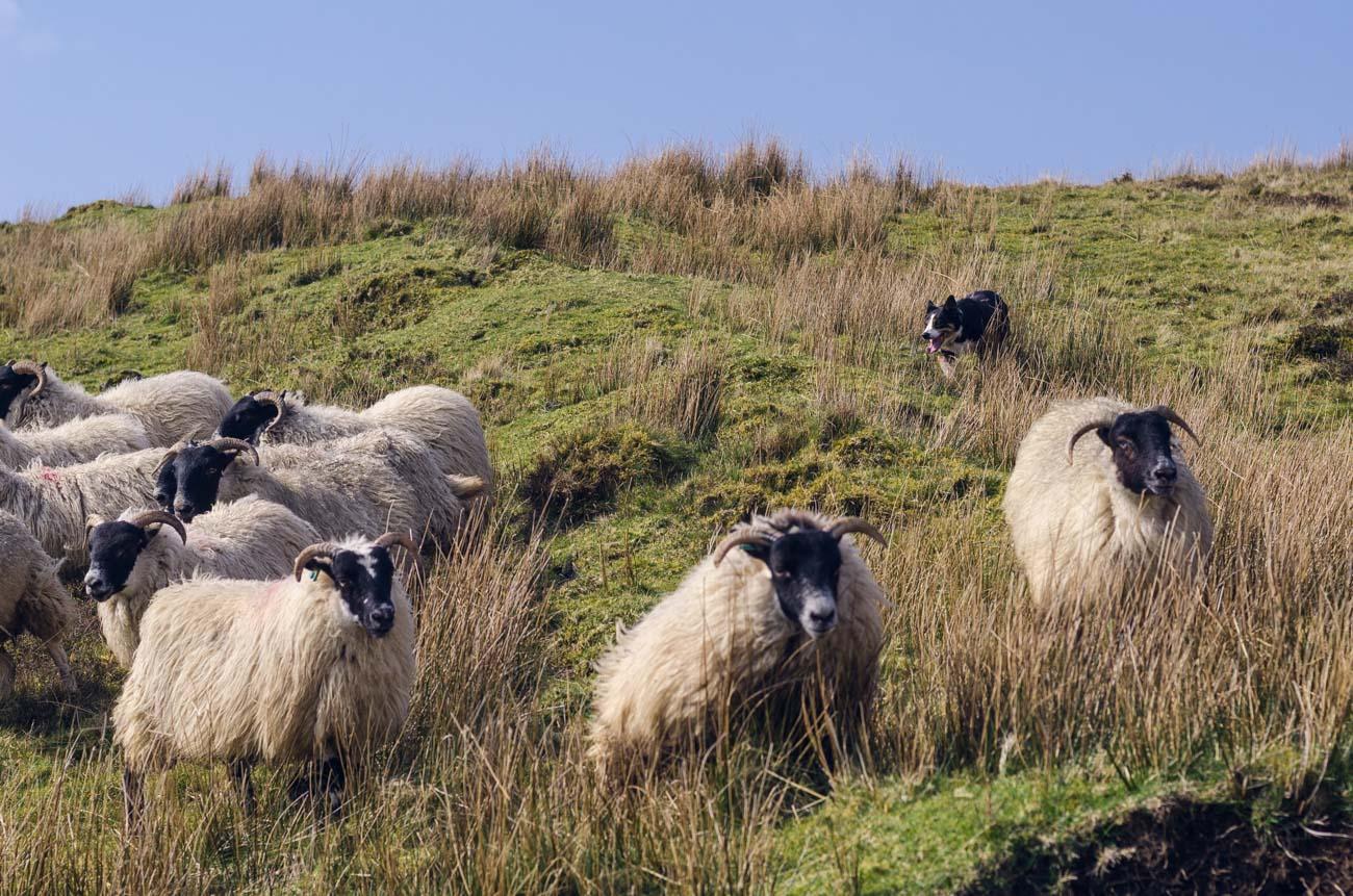 Isle of Skye - ovčácký pes v akci