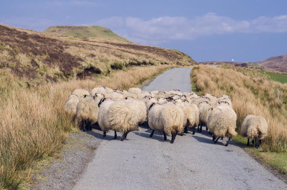 Isle of Skye - ovce a zážitky